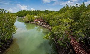 Phuket-BangRong_mangroves_02