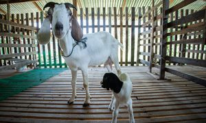 Phuket-Maneerat-Goat-Farm_02